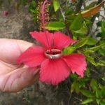 Trauring auf Hibiskusblüte - Foto Bender